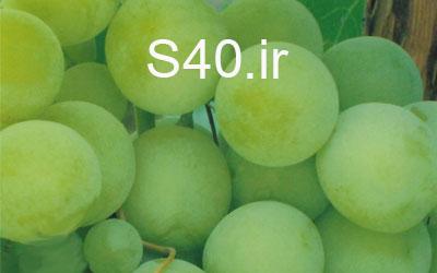 انگور هلندی سبز