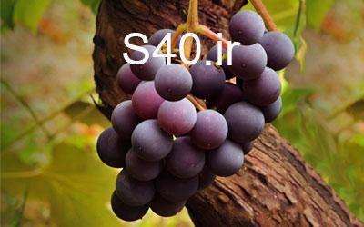 انگور والنسیا