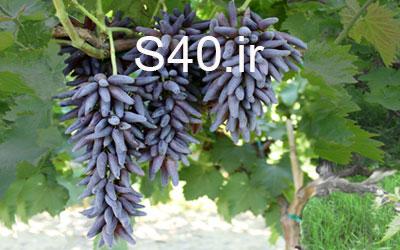 انگور مارشال شمشیری  40