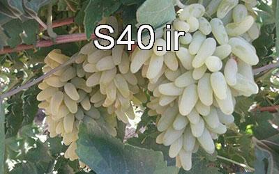انگور استوایی زرد 54